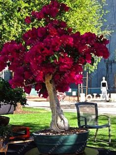 20 pcs/bag bougainvillea seeds, Bougainvillea Spectabilis Willd Seeds, beautiful flower seeds bonsai pot plant for home garden