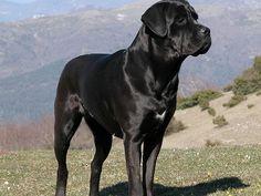 The Cane Corso Italiano – Beloved Dog of Italy https://didyouknowpets.com/2014/12/31/the-cane-corso-italiano-beloved-dog-of-italy/