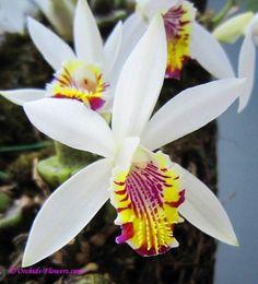 rare orchids | orchids flowers com image pleione maculata lindl photographer posantor ...