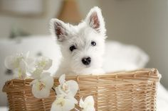 A little Westie, the ultimate style accessory (and simultaneous best friend!). They are multi-talented.