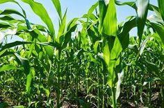 image of corn field - Green corn field under the blue sky - JPG