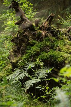 Ferns, moss, and seedlings quickly colonize a fallen tree in the Hoh Rainforest in Washington's Olympic National Park. The Hoh Rainforest is one of the largest temperate rainforests in the US. Photo by Pat Floyd.