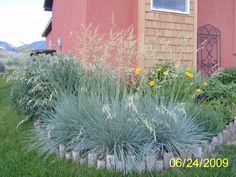 Helictotrichon sempervirens/Blue oat grass. Zone 4. 1-1.5' tall x 1' wide. Early summer bloom (cream).