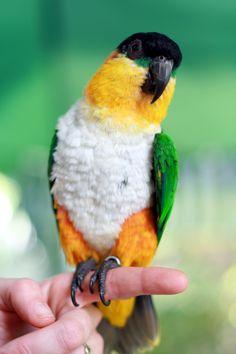 Black-headed Parrot - Wikipedia, the free encyclopedia