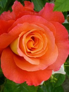Beautiful Rose 'Sunrise' Perfect For Your Garden All Flowers, Amazing Flowers, Beautiful Roses, Beautiful Gardens, Beautiful Flowers, Beautiful Places, Orange Rosen, Rose Foto, Ronsard Rose