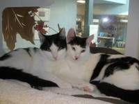 Braden and Desi - Domestic Short Hair-black and white