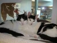 Braden and Desi - Domestic Short Hair-black and white