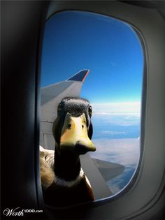 Anatidaephobia: the irrational fear that somewhere, somehow, a duck is watching you.
