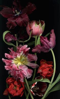 ❈ Fleurs Foncées ❈ dark art photography flowers botanical prints - tulips