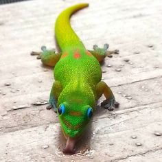 Gold Dust Day Gecko - Photorator