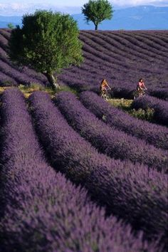 Lavender Fields on a bicycle trip. What more do you want? Read about our self-guide cycling trips through Provence here:  http://www.discoverfrance.com/regions/provence-cycling-tours.php