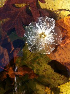 Ghost Flower. (Decomposing Petunia in a Birdbath)