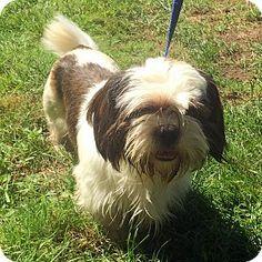 Bloomfield, CT - Shih Tzu Mix. Meet Andy, a dog for adoption. http://www.adoptapet.com/pet/13751076-bloomfield-connecticut-shih-tzu-mix