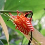 Tessaratomid Giant Shield Bug Nymph