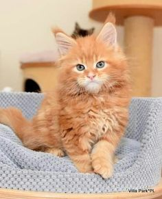 Master Villa Park <3 - kocurek rudy klasycznie pręgowany Orange And White Cat, White Cats, Orange Tabby Cats, Red Cat, All Animals Photos, Baby Kittens, Maine Coon Cats, Ginger Cats, Beautiful Cats