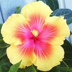 Hibiscus of the Day   #Panama #Hibiscus http://ift.tt/1fAoCMk