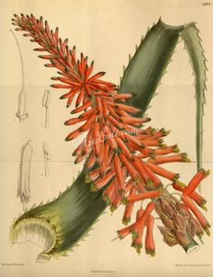 """Aloe Arborescens Natalensis - Fine Art reproduction of an exquisite antique print by entomologist and botanist, William Curtis ,first published in """"The Botanical Magazine or Flower-Garden Displayed"""" in Vintage Botanical Prints, Botanical Drawings, Botanical Art, Botanical Illustration, Illustration Botanique, Photo Images, Plant Drawing, Cactus Art, Cactus Y Suculentas"""