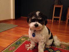 Teddy bear dog age 4- half Bichon, half Shitzhu
