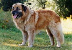 Estrela Mountain Dog - Pastoral Dog Group