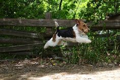 WIRE-HAIRED FOX TERRIER-feet don't touch the ground.