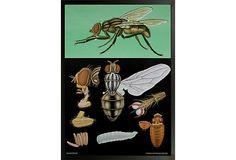 House Fly Zoological Chart on OneKingsLane.com