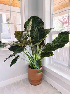 Big Plants, Potted Plants, Garden Plants, Indoor Tropical Plants, Ficus, Elephant Plant, Elephant Ear Plant Indoor, Plantas Indoor, Minimalist Decor