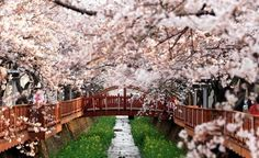 The Jinhae Gunhang (Naval Port) Festival is the largest cherry blossom festival in the country