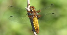 The first Dragonfly we have seen this year, mum spotted this female Broad Bodied Chaser, what a lovely treat for us all Gossamer Wings, Insect Photography, Beneficial Insects, Wasp, Dragonflies, Bee, Damselflies, Creatures, Snails