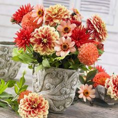 Dahlia Summer Peach Mix. A sophisticated pairing of styles and colors. This mix includes dahlias cactus, decorative, single and ball dahlias in a color coordinated blend