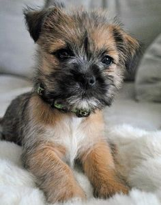 Cairn Border Terrier Mix -gruff faced dog!!