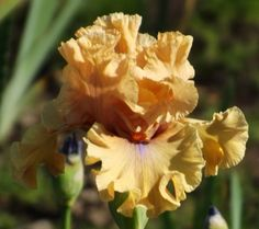 TB Iris Apricot Already - Blyth 09/10  Photo by Iris Sisters Farm