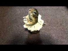 Baby Squirrel Ballerina!