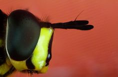 Interested in high resolution image – contact me. Macro photography of insects. Stock pictures. Syrphus ribesi
