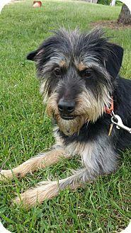 Nashville, TN - Wirehaired Fox Terrier/Dachshund Mix. Meet Eddie ...