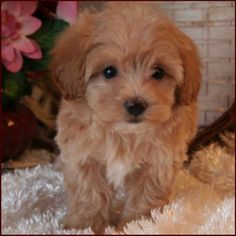 Maltipoo Puppy 4 Sale| Maltepoo| Maltese Poodle Puppies | Iowa