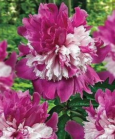 """Paeonia lactiflora 'Celebrity'Ruffled.  6"""" blossoms are a unique shade of deep raspberry-pink and wonderfully fragrant. Plants are tall and extra-sturdy. Flowers later in the season, claiming center stage when other peonies have faded,"""