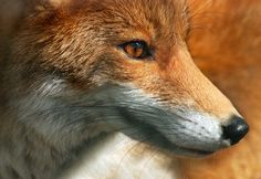 Red Fox by Claudia Rocchini