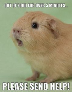 Just like my guinea pig. She's always hungry Just like my guinea pig. She's always hungry Baby Guinea Pigs, Guinea Pig Toys, Guinea Pig Care, Cute Little Animals, Cute Funny Animals, Guinea Pig Quotes, Pig Pics, Guniea Pig, Cute Piggies