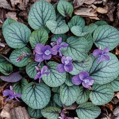 Hirts: Wildflowers 'Silver Gem' Appalachian Blue Violet Plant - Viola - Shade Lover - Pot : Others Miniature Plants, Miniature Fairy Gardens, Fairy Garden Plants, Garden Planters, Spring Hill Nursery, Violet Plant, Missouri Botanical Garden, Deer Resistant Plants, Hummingbird Garden