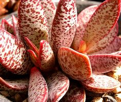 Succulent | 美肉集