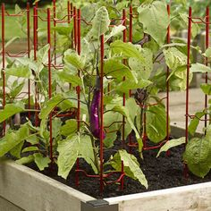 """These super-strong Pepper and Eggplant Stakes have 7mm steel uprights and our exclusive """"plant cradle"""" crosspieces. Use them to support eggplants, peppers and bush (non-vining) varieties of beans and cucumbers."""