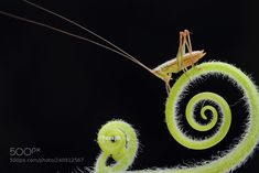 跳跃的音符 (Yoseph小白 / 四川眉山 / 中国) #Canon EOS 550D #macro #photo #insect #nature