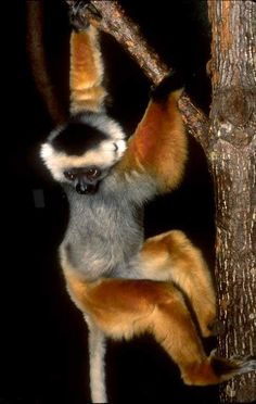 Most of the sifakas you see pictures or film of are P. verreauxi , so I'll show you something differ. Baby Exotic Animals, Rare Animals, Exotic Pets, Strange Animals, Primates, Mammals, Animals Beautiful, Beautiful Things, Pet Rats