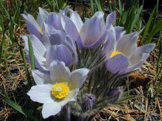 The prairie crocus or 'pasque flower' (Anemone patens) was named as Manitoba's official provincial flower on March Antelope Horns, Prairie Planting, Easter Flowers, Remembrance Day, Perennials, Wild Flowers, Seeds, National Parks, Yearning