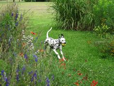 Elsie.....happy dalmatian.....