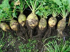 Rutabaga - Wikipedia, the free encyclopedia. I didn't know this about a rutabaga. Interesting that it can be used to feed livestock in the winter. Fall Vegetables, Container Gardening Vegetables, Growing Vegetables, Vegetable Gardening, Leaf Vegetable, Veggies, Urban Gardening, Sauerkraut, Gardens