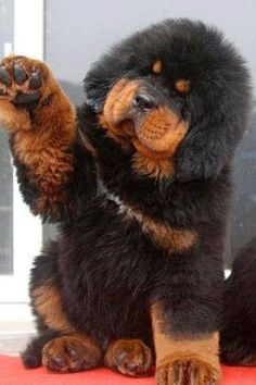 Cachorro mastín tibetano
