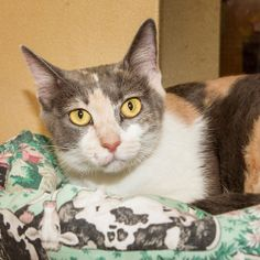 Katie is an adoptable Calico Cat in Nashville, TN.  If you are having trouble picking out your favorite color for a cat, a calico is your answer! You can see from my picture how beautiful I am with al...
