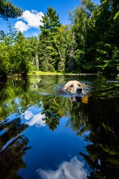 Golden retriever follows family in a canoe. Photograph - Water Dog, by Gerald Mabee on 500px