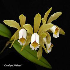Cattleya forbesii | emmily1955 | Flickr